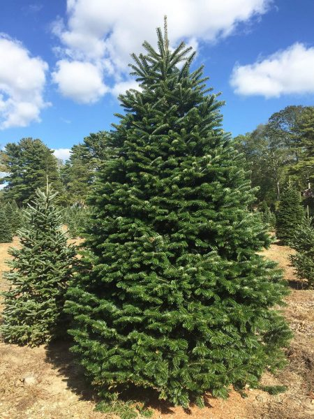 Choose Amp Cut Christmas Trees Hartikka Tree Farms